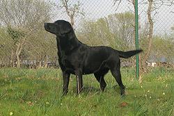 Hembra-labrador-Tila