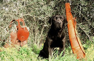 Labrador-Negro-Caza