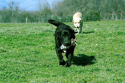 Labradores-Cobrando-Caza