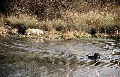 Labradores Retriever cobrando patos