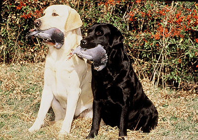 Labradores-Retriever-con-presa-en-la-boca