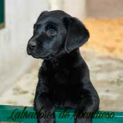 cachorra-labrador-retriever