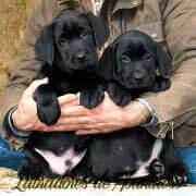 cachorras-negras-labrador-retriever