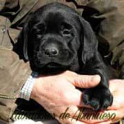 cachorro-labrador-negro