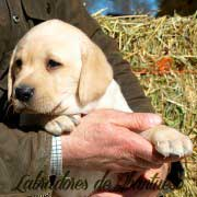 cachorro-labrador-retriever10