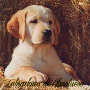 cachorro-labrador-retriever1
