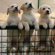 cachorro-labrador-retriever11