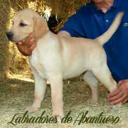 cachorro-labrador-retriever12