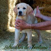 cachorro-labrador-retriever13
