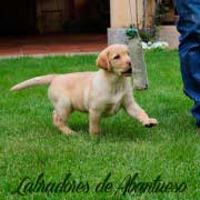 cachorro-labrador-retriever14