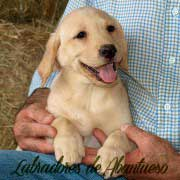 cachorro-labrador-retriever17