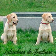 cachorro-labrador-retriever18
