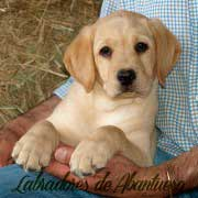 cachorro-labrador-retriever19