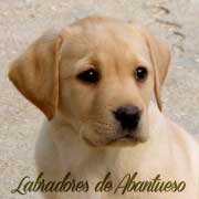 cachorro-labrador-retriever20