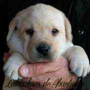 cachorro-labrador-retriever21