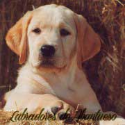 cachorro-labrador-retriever2