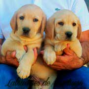 cachorro-labrador-retriever3