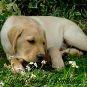 cachorro-labrador-retriever4
