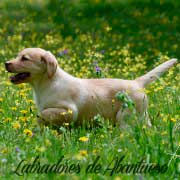 cachorro-labrador-retriever5