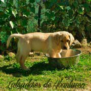 cachorro-labrador-retriever6