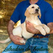 cachorro-labrador-retriever7