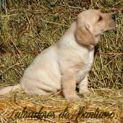 cachorro-labrador-retriever8