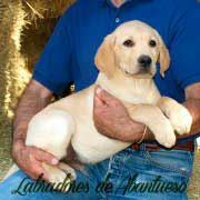 cachorro-labrador-retriever9