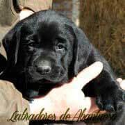 cachorro-negro