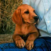 labrador-retriever-cachorro-red-fox