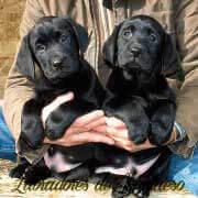 cachorros-de-labrador-retriever