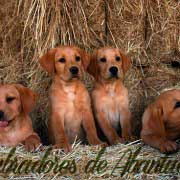 cachorros-de-red-fox