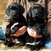 cachorros-negros