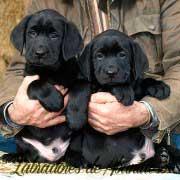 cachorros-negros-de-labrador