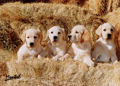 cachorros_labradores