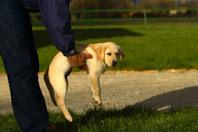 dignidad_cachorro_labrador