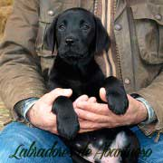 labrador-retriever-cachorro