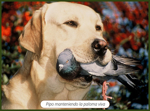 labrador-retriever-caza