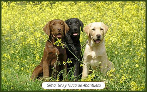 trio_de_labradores