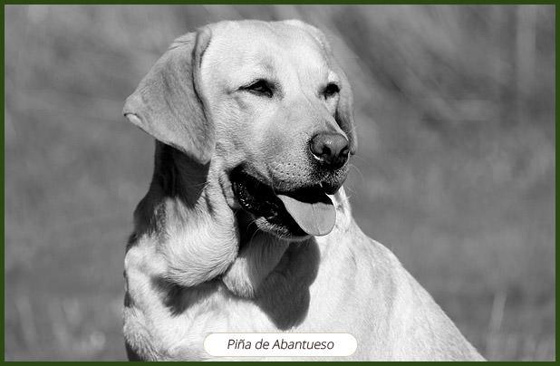 Labrador-Abantueso